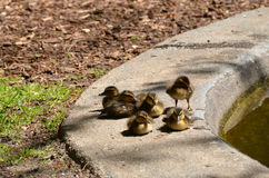 Six little baby ducks relaxing by the pond Royalty Free Stock Images