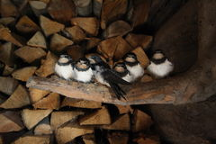 Six little hariballs Stock Photos