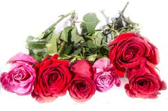 Six long big roses four red and too two pink white with some green. A rose is a woody perennial flowering plant of the genus Rosa, in the family Rosaceae, or the Royalty Free Stock Photo
