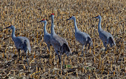 Six Male Sandhill Cranes in a Harvested Wheat Field Stock Photos