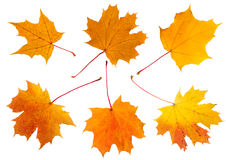 Six maple autumn leaves. On a white background Stock Photo