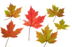 Six Maple Leaves on White. Photo of variously colored maple leaves on a white background stock photography