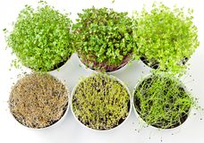 Six microgreens and sprouts in white bowls from above royalty free stock photography