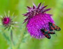 Six mites repérées de burnet sur la fleur de chardon Photographie stock libre de droits