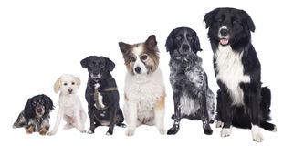 Six mixed breed dogs in a row Stock Images