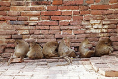 Six monkey and red brick wall Stock Images