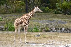 Six Month Old Female Giraffe Royalty Free Stock Photo