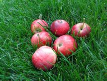 Red apples lie on the grass. Six mouth-watering red apples lie in the beautiful bright green grass in the garden stock image