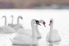 Six Mute Swans On Pale Water Royalty Free Stock Photos