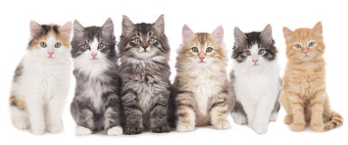 Six norwegian forest kitten sitting Stock Image