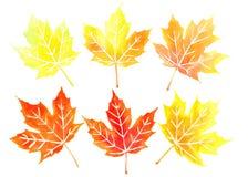 Six orange canadian maple leaves. Six orange autumn colored canadian maple leaves set watercolor Royalty Free Stock Photo
