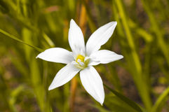 Six petals white flower Royalty Free Stock Images
