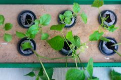 Six plants growing in net pots and coco coir hydroponics system. Six plants of brinjal beans growing in net pots filled with coco coir. This homemade hydroponic Royalty Free Stock Photo
