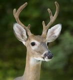 Six point buck Royalty Free Stock Images