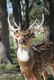 Six Point Buck. Big beautiful six point buck Stock Photography