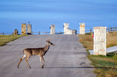 Six point Whitetailed Deer Buck crossing road Stock Photography