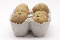 Six pommes de terre chitting dans un carton d'oeufs. Photographie stock libre de droits
