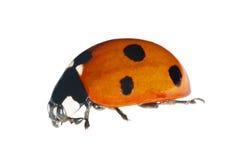 Six ponts ladybug isolated on white Stock Image