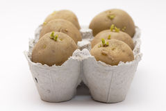 Six potatoes chitting in an egg carton. Royalty Free Stock Photography