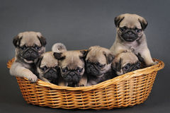 Six pug puppies. Stock Images