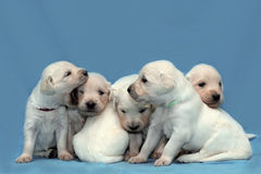 Six puppies. Six white puppies golden retriever Stock Images