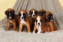 Six puppies breed boxer sit a bunch Stock Photography