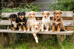 Six puppies dogs in portrait. Royalty Free Stock Images