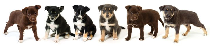 Six Puppies Side by Side. Puppies side by side against white background stock image