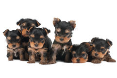 Six puppies Stock Images