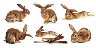 Six rabbits on a white background in the foregroun. D the disassembled gun Royalty Free Stock Photo