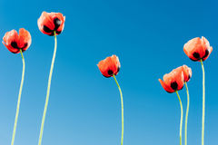 Six red poppies. Six red wild poppies, blue sky background Royalty Free Stock Images