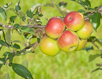 Six reddening apples Royalty Free Stock Image