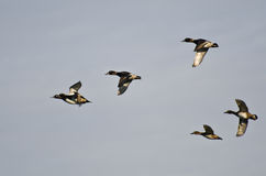 Six Ring-Necked Ducks Flying in a Cloudy Sky Royalty Free Stock Photography