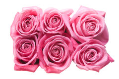 Six rose- heads closeup. Six pink roses isolated on white background Stock Image