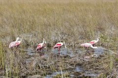 Roseate Spoonbills in a swamp royalty free stock images