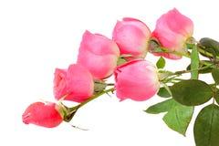 Six roses Royalty Free Stock Photos