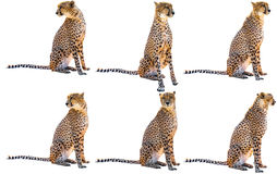 Six séances de guépard photo libre de droits