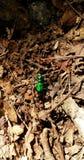 Six scarabées de tigre verts repérés Image libre de droits