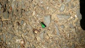 Six scarabées de tigre verts repérés Images libres de droits