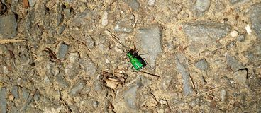 Six scarabées de tigre verts repérés Photo libre de droits