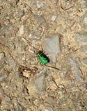 Six scarabées de tigre verts repérés Photographie stock