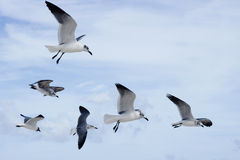 Six seagulls in flight Royalty Free Stock Images