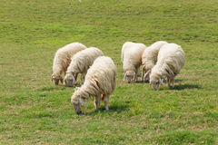 Six Sheep was eating on the lawn Royalty Free Stock Photo