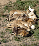 Six sleeping lions Royalty Free Stock Photo