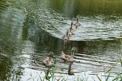 Six small chicks swans of a gray-brown color float on the lake`s water and look into the camera. Fluffy kids with black eyes, summer, autumn, daylight, grass royalty free stock image