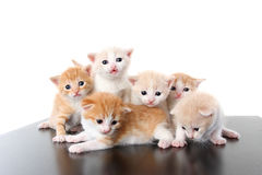 Six small fold kitten on white Royalty Free Stock Photos