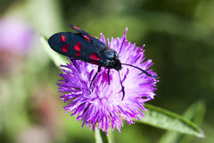 Six spot burnet Stock Photo