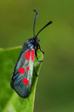 Six-spot burnet. Bright moth that is sitting on the leaf of a plant Stock Image