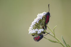 Six-spot Burnet. Close up of two six-spot burnet moths on white flower Stock Images