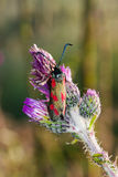 Six-spot Burnet Stock Image